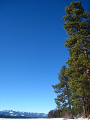 Ponderosa Pines at Seeley Lake