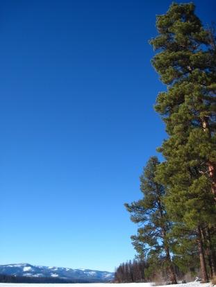 Ponderosa Pines at Seeley Lake
