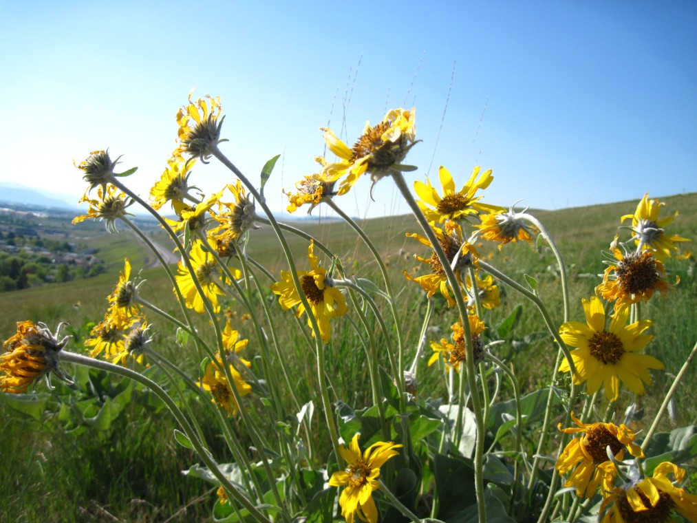 Arrowleaf Balsamroot, North Hills, Missoula