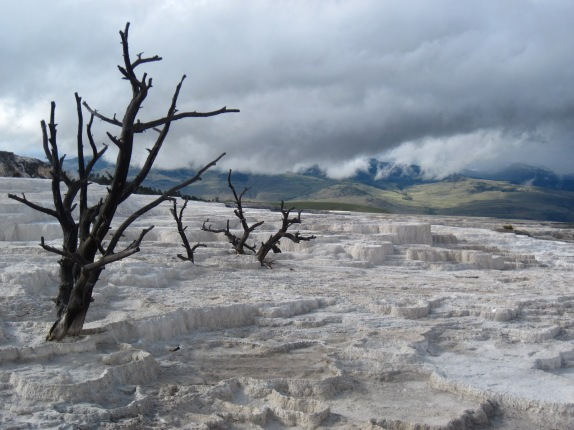 Trees Held in Travertine, Mammoth Hot Springs, Yellowstone